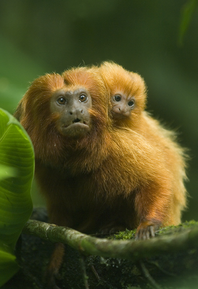 tamarin and baby